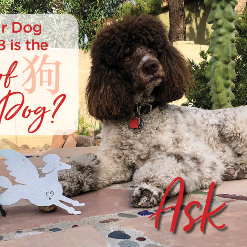 Year of the dog Poodle laying down